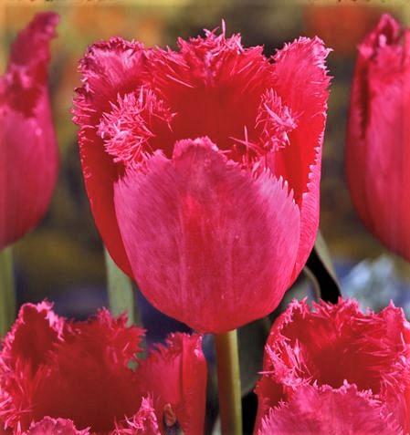 Картинки по запросу тюльпан бахромчатый бургунди лейс